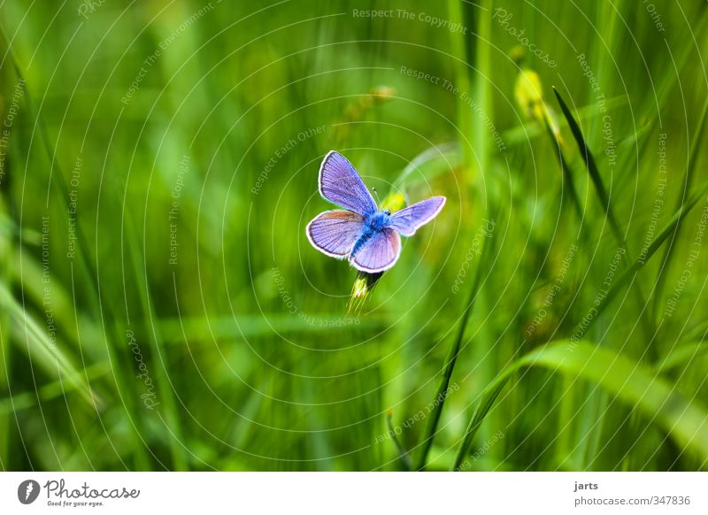 eye-catcher Nature Plant Animal Summer Beautiful weather Grass Meadow Wild animal Butterfly 1 Fresh Natural Blue Colour photo Exterior shot Deserted