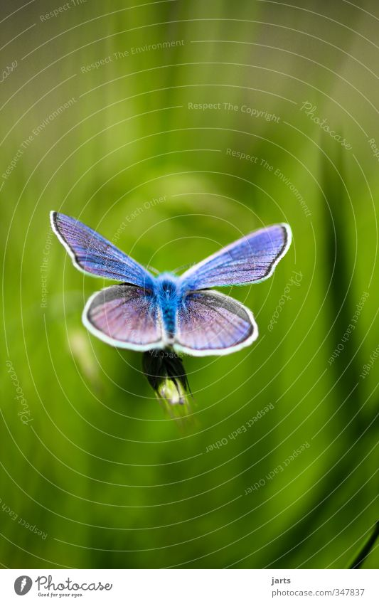 blue Beautiful weather Grass Meadow Animal Wild animal Butterfly 1 Exotic Natural Blue Colour photo Exterior shot Close-up Detail Deserted Copy Space top