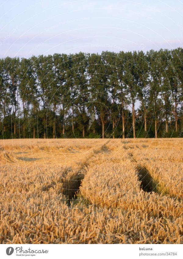 dirt road Field Tree Poplar Meadow Green Yellow Sunset Footpath Grain Cornfield Nature Landscape Blue Gold