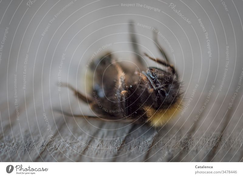 A dead bumblebee lies on its back Insect Bumble bee Death deceased Change and transformation End loss Brown Gray end of life rigid sad