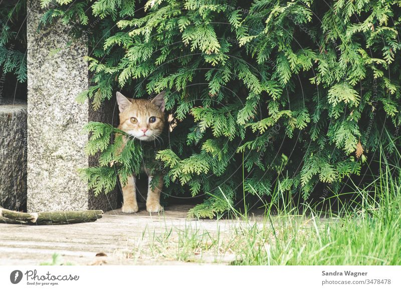 A red tomcat sits in the undergrowth Cat hangover Red trees Garden Stone inquisitorial inquisitive Green Hedge tuje Animal Pet Colour photo animal portrait