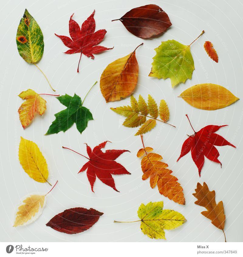 Colourful collection Autumn Leaf Multicoloured Autumn leaves Autumnal Collection Oak leaf Beech leaf Maple leaf Rowan tree leaf Early fall Autumnal colours