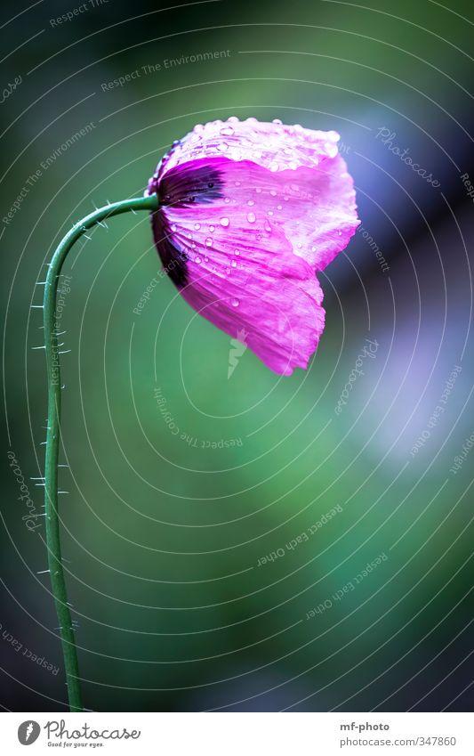 Nature Blue Green Plant Flower Environment Meadow Garden Pink Poppy Corn poppy