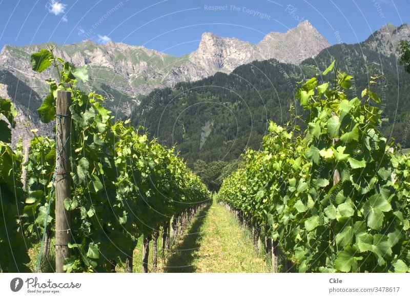 Vineyard in Swiss Alps vines mayfield Heidi Novel Heidiland mountains Bündner Herrschaft Peak Mountain Exterior shot Colour photo Nature Landscape Deserted