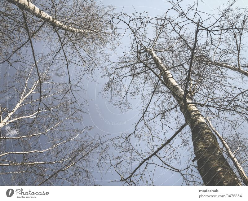 Birch trees reach for the sky Nature Environment Forest Birch wood Plant Landscape Beautiful weather Deserted Exterior shot Colour photo Day Central perspective