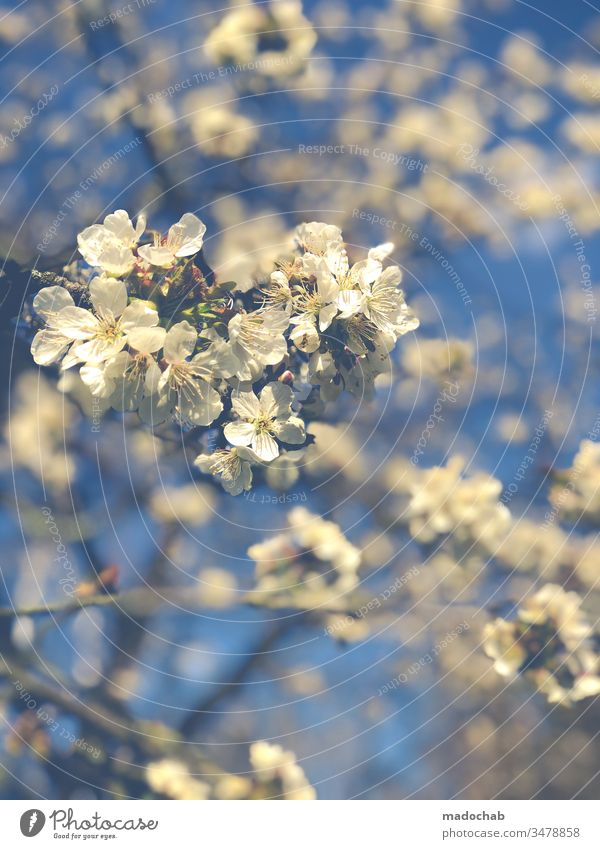 cherry picking spring Nature tree bleed Cherry Growth Life Environment already blossom Plant Blossoming Colour photo Spring fever Fragrance Cherry blossom