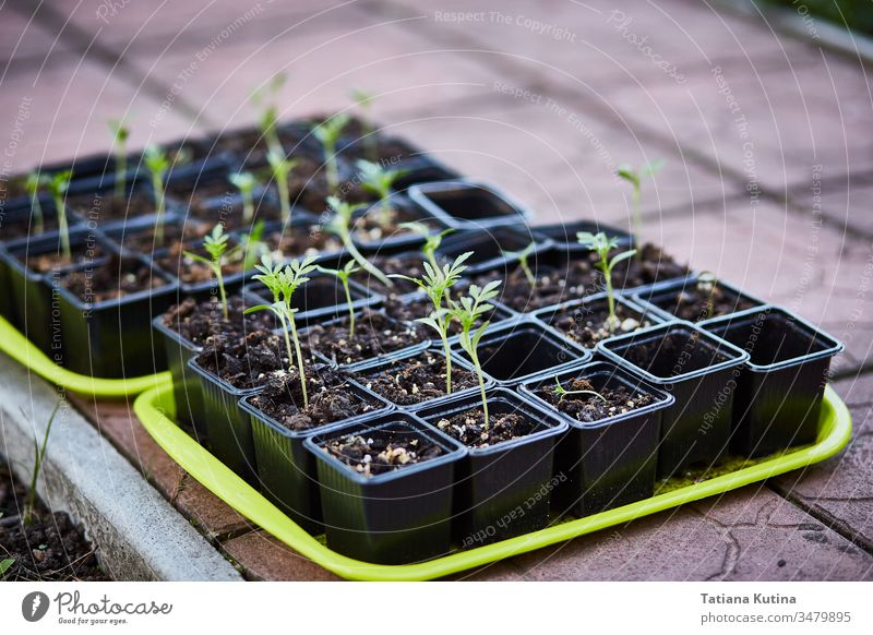 seedlings of flowers in pots on a tray. botany gardening growing plastic soil spring cultivate fragile hobby sprout young plants bedding plants botanical
