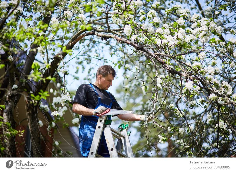 A man with a saw cuts a branch of a blooming apple tree in the garden. work gardener gardening nature outdoor tool agriculture equipment green hand plant sawing