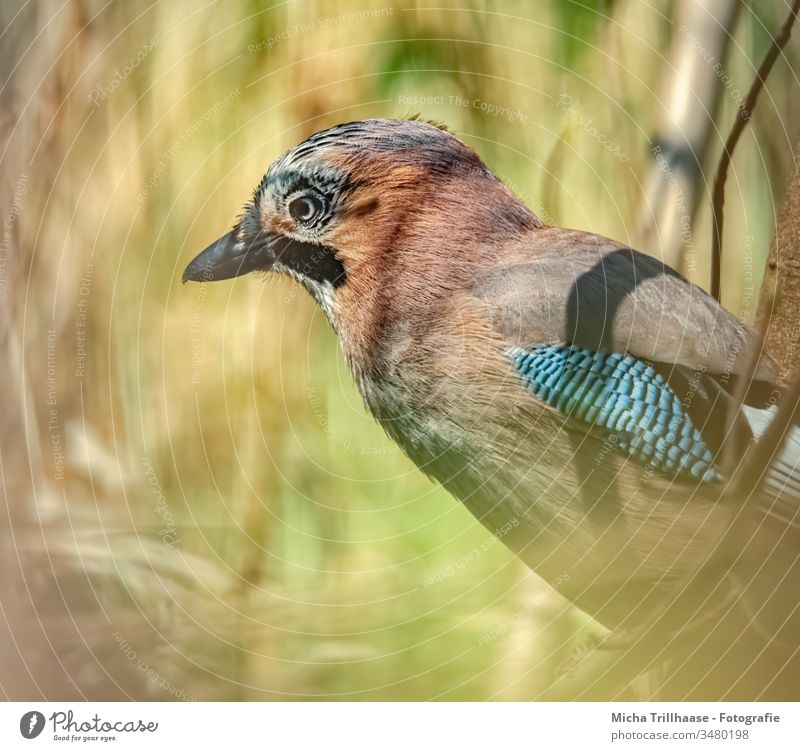 Jay in the sunshine Garrulus glandarius Head Beak Eyes Feather Plumed Grand piano Animal face Bird Claw Wild animal Beautiful weather Sunlight Nature Looking