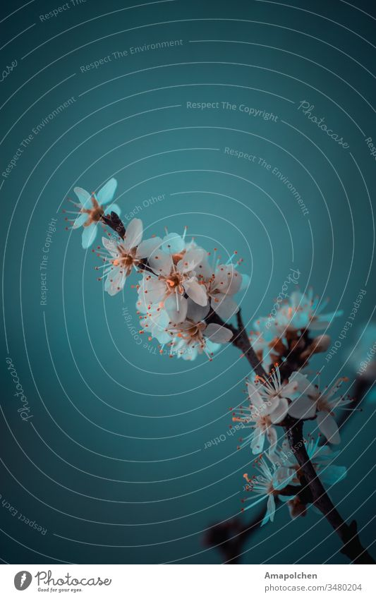 Flowering twig against a blue background Cherry tree Cherry blossom Apple blossom Apple tree Spring Spring flowering plant Blossom Nature Plant Spring fever