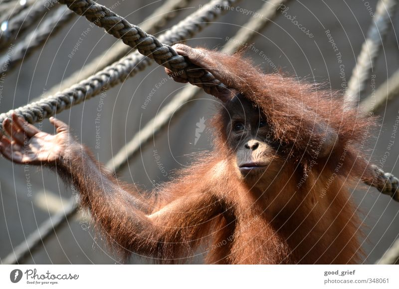 In Pongoland Nature Animal Zoo 1 Emotions Safety (feeling of) Wanderlust Loneliness Monkeys Apes Orang-utan Rope Cage Hand Pelt Borneo Colour photo