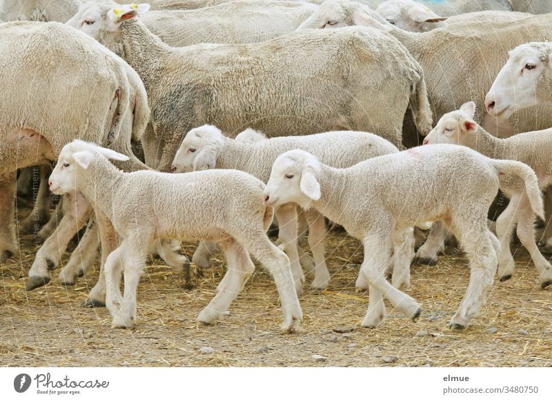 Lambs in a passing flock of sheep Sheep Flock Walking young animal herd instinct Agriculture Farm mutiny Animal Rural Wool wool supplier Herd Many