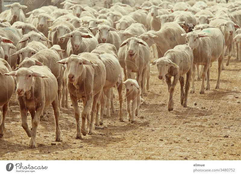 a flock of shorn sheep with lambs running diagonally through the picture from right to left Flock Sheep Lamb Herd Mother Walking herd instinct drift