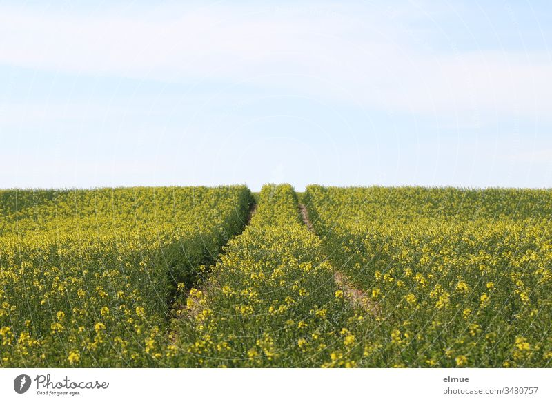 Lane in the blossoming rape field and blue sky Canola field lane Field guide track Agriculture Field construction Spring Oleiferous fruit Energy Plant Horizon