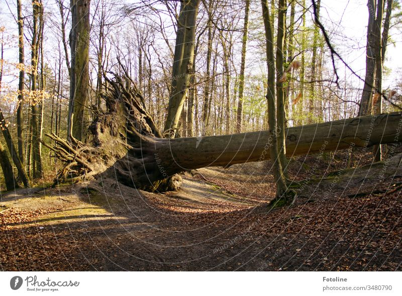 Sabine knocks down the strongest - or a tree in the forest that was uprooted by storm Sabine Forest Tree Nature Landscape Exterior shot Colour photo Environment