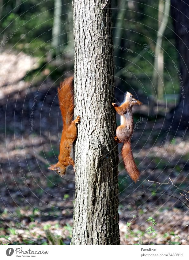 Colourful hustle and bustle in the forest - or 2 squirrels, who were actually 5, chase each other up and down the tree Squirrel Animal Colour photo Nature
