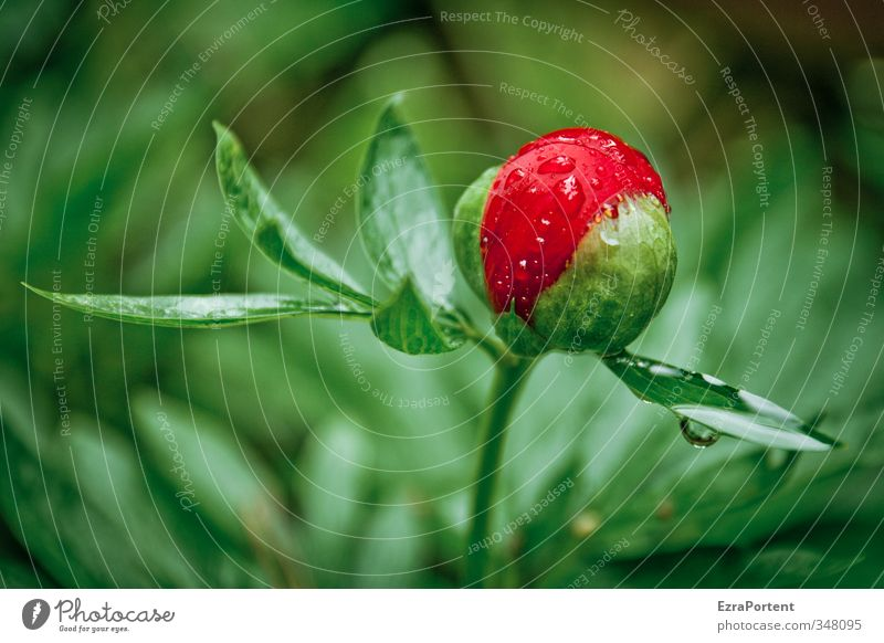 Nature Plant Green Beautiful Summer Flower Red Leaf Environment Spring Garden Rain Weather Drops of water Individual Rose