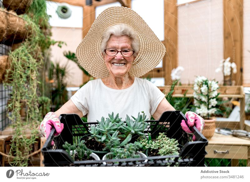 Happy senior gardener with box of succulents woman hothouse smile carry hobby work plant female elderly agriculture greenhouse organic fresh botany horticulture