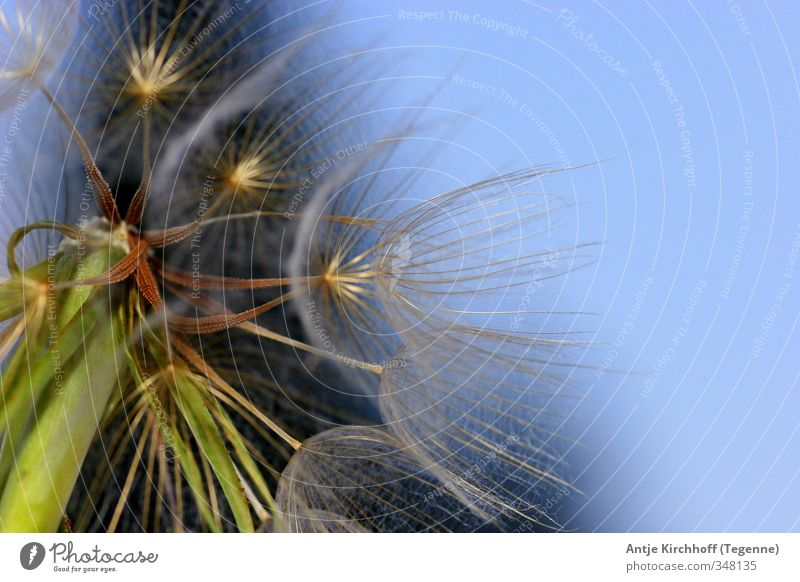 dandelion Environment Nature Sky Cloudless sky Spring Summer Plant Flower Exceptional Uniqueness Beautiful Soft Blue Brown Green Colour photo Multicoloured