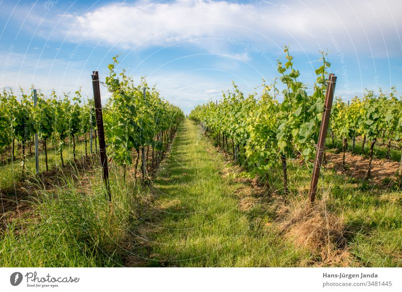 German vineyard with grass and blue sky in spring Vineyard Spring Shoot Green heyday Yellow Sky Clouds Cultivation Agriculture Grass Rhineland-Palatinate France