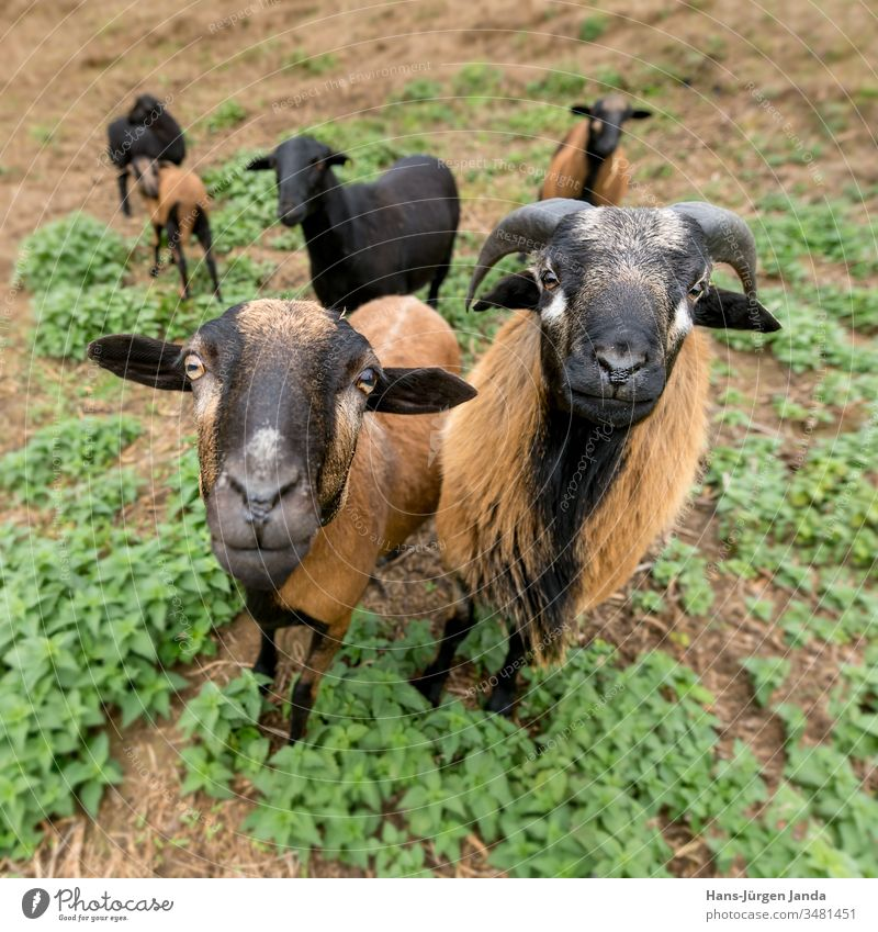 Two cameroon sheep (male and female) stand side by side in the pasture Sheep Cameroon Aries Animal Animal Breeding Way Farm Pet Mammal Milk Meat Fur Wool Brown