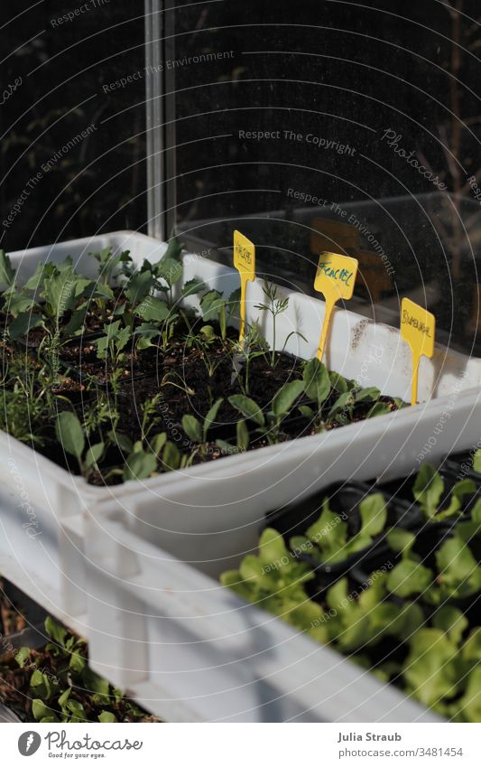 Prefer vegetable plants in a greenhouse Greenhouse Vegetable Plant Fennel Cauliflower Kohlrabi Lettuce crates Urban gardening permaculture Earth Plantlet Spring
