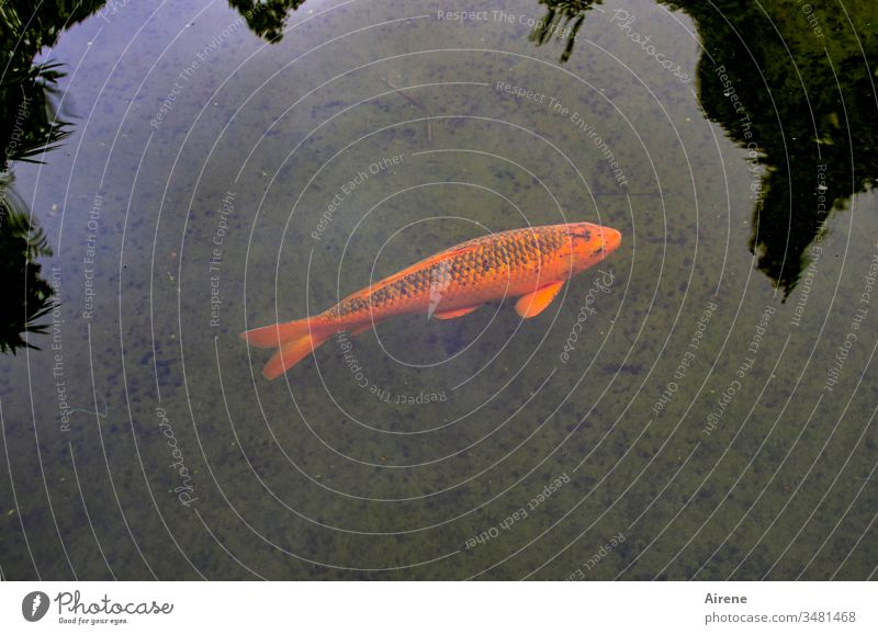 Noi, the ish Koi Karpfa Fish Carp Goldfish Ornamental fish Red Lonely Fishpond Pond Fish breeding Animal Flake Swimming & Bathing Water Beautiful spot of colour