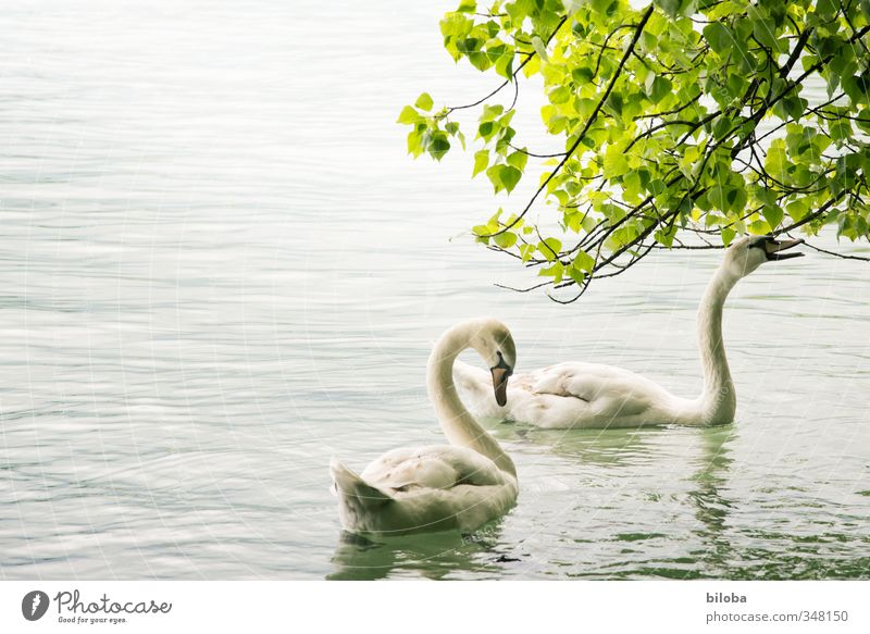 swan lake Nature Landscape Plant Animal Waves Lake Swan 2 To feed Swimming & Bathing Lake Thun Colour photo Exterior shot Deserted Copy Space left Back-light