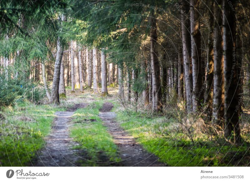 alone under spruces Forest Coniferous forest forest path Forest road Forestry conifers fir branches firs Draw path Skid marks Woodground Sunlight golden Green