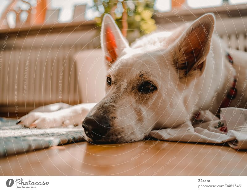 White shepherd dog relaxed Shepherd dog Dog Lie tranquillity Sleep Close-up Animal Pet Colour photo Animal portrait Shallow depth of field Cute Pelt