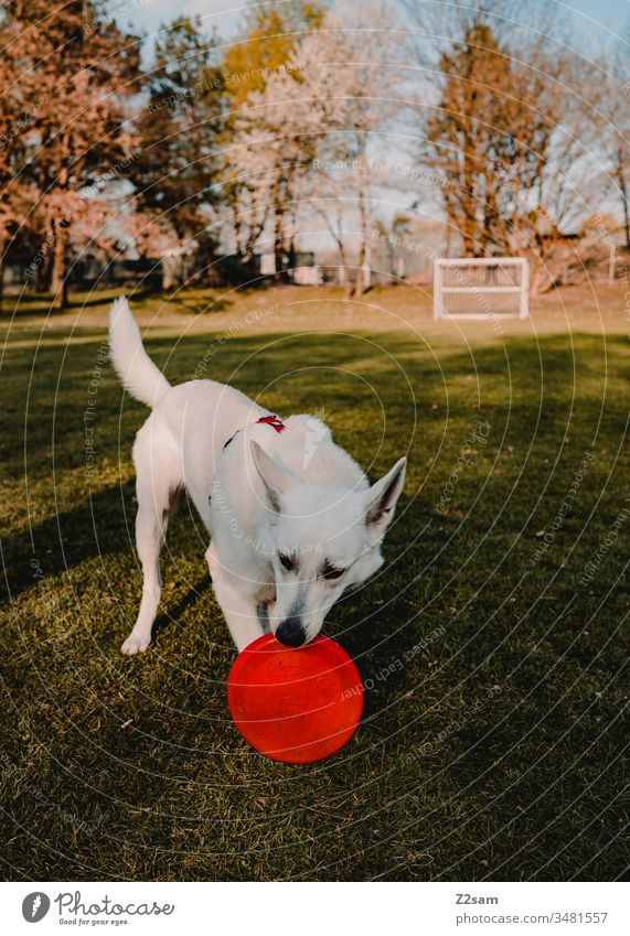 White shepherd dog plays with Frisbee Dog Shepherd dog Pet Meadow Foot ball Sun Warmth Walk the dog stroll Playing Nature Animal Exterior shot Landscape fun
