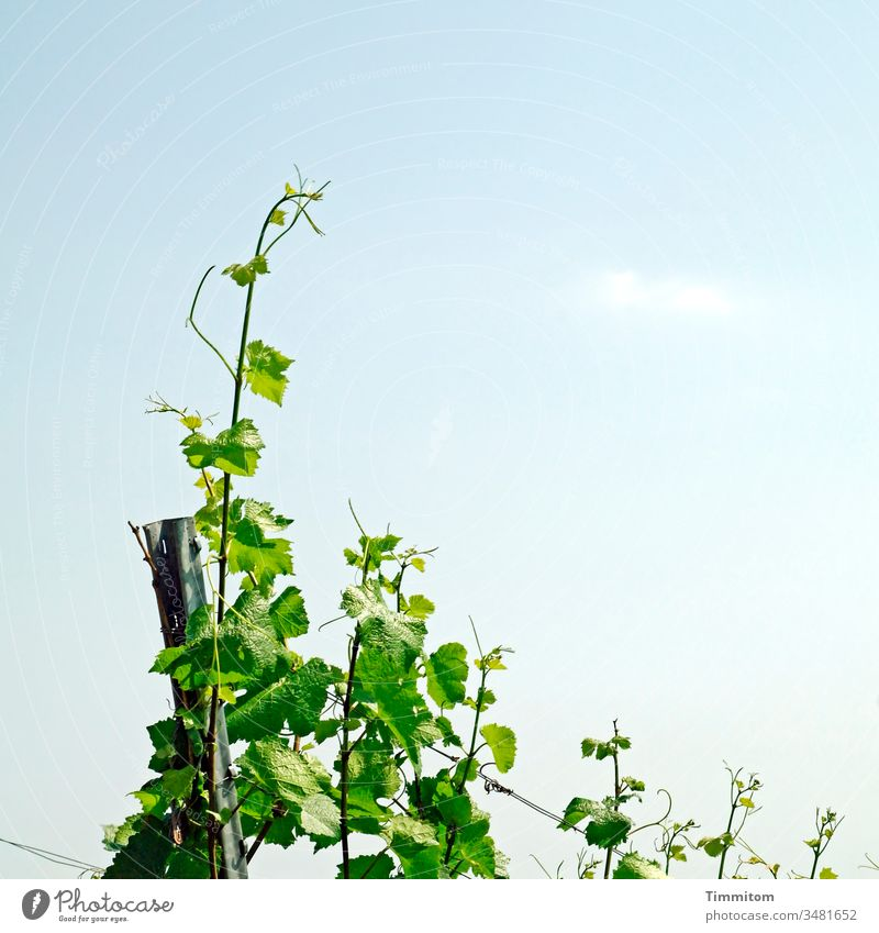 The vines are on a good path! Vine Vineyard Wine growing Plant Winery Nature green flaked Growth Pole Wire Exterior shot