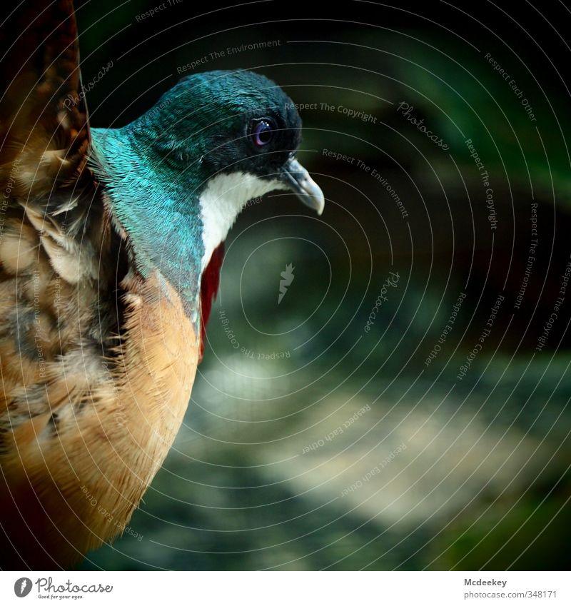 love dance Animal Wild animal Bird Pigeon Animal face Wing Zoo 1 Elegant Success Rebellious Blue Brown Multicoloured Gray Green Orange Red Black White Feather