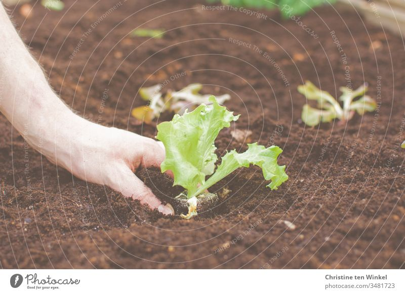 Hand of a young man planting salad Lettuce Salad leaf plants salad plant Garden Bed (Horticulture) Spring Gardening Nature Green Brown Plant Earth