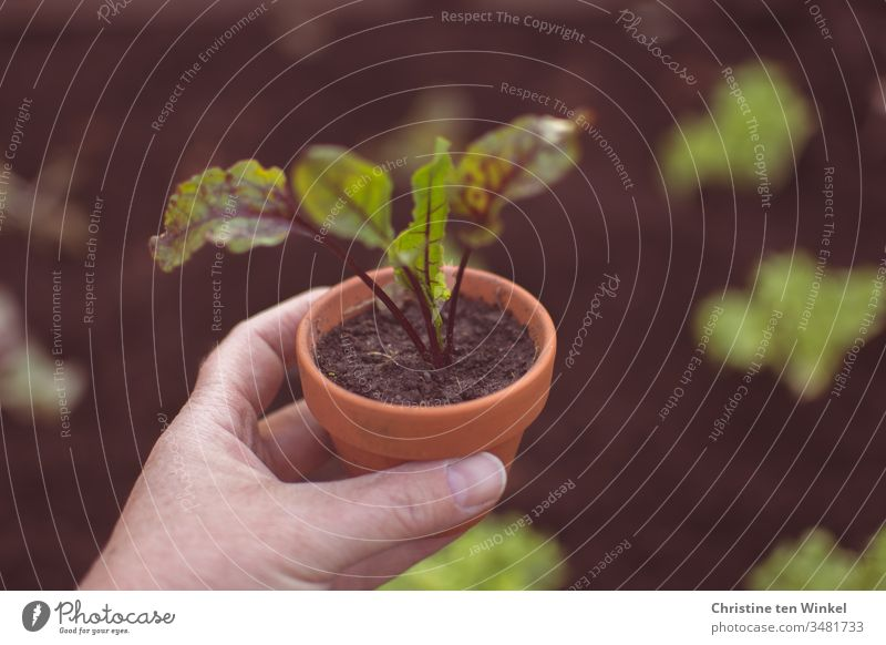 Beetroot plant in a clay pot, held by a woman's hand beetroot little plant young vegetables Vegetable plants Garden Bed (Horticulture) plant pot Spring