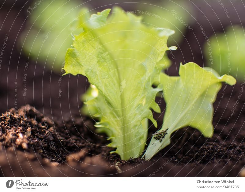 Salad plants in fresh soil in the bed Lettuce Salad leaf salad plant Garden Bed (Horticulture) Spring Gardening Nature Green Brown Plant Earth