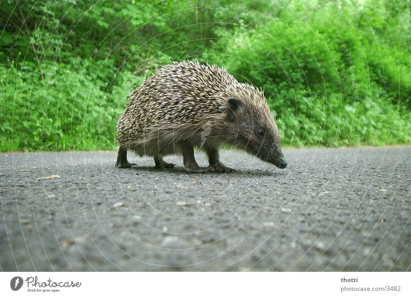 Green Animal Street Dangerous Threat Asphalt Hedgehog