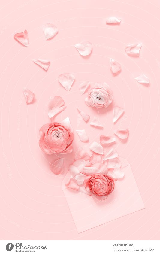 Pink  flowers and petals blowing up from an envelope on a light pink  background ranunculus spring blow up romantic pastel flat lay monochrome composition roses
