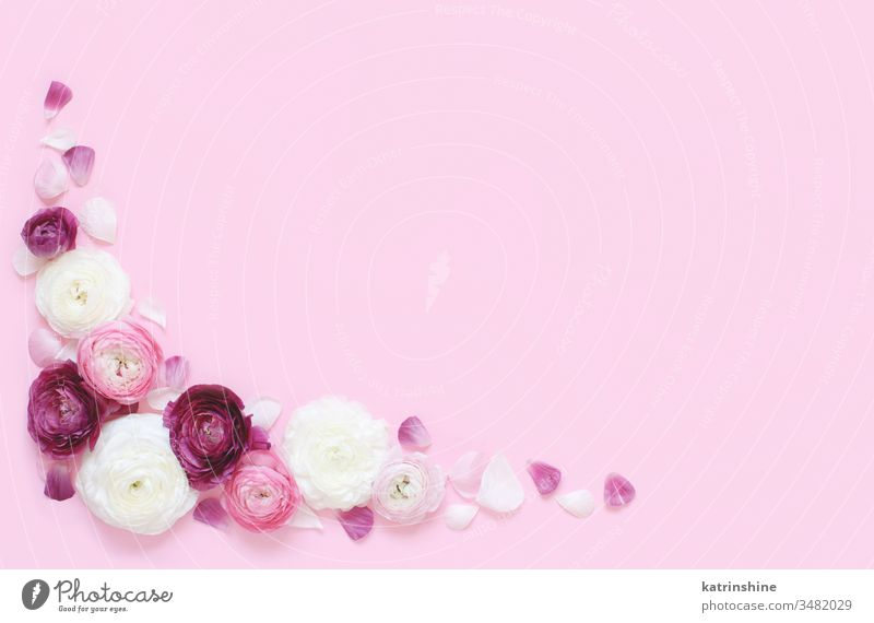Corner frame made of pink and cream flowers on a light pink background ranunculus spring romantic fuchsia pastel flat lay composition roses top view above