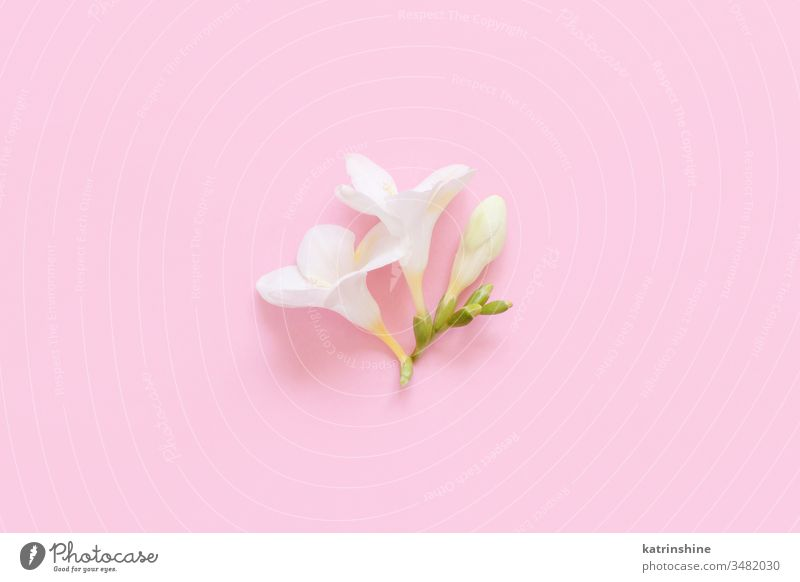 White fresia flower on a light pink  background white spring romantic pastel flat lay composition roses top view above concept creative day decoration design