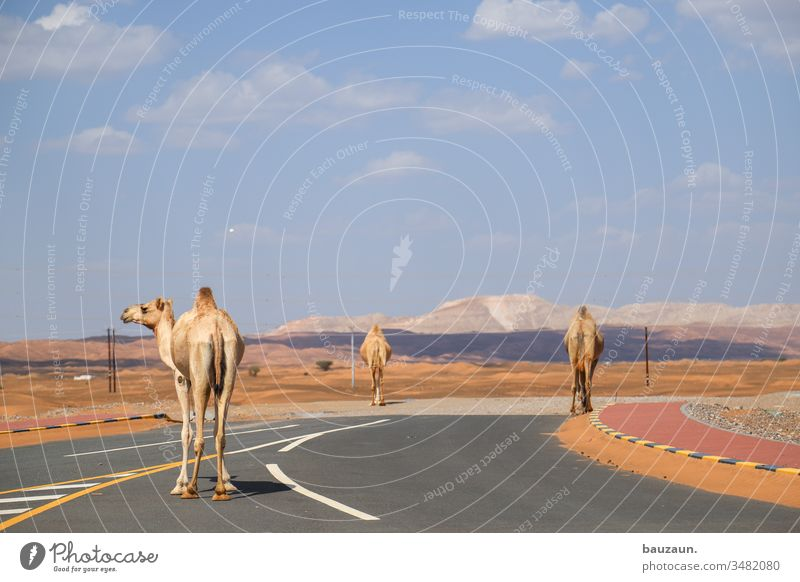 camels on road. Camels Street Desert Road traffic cross Left Sand Dromedary Oman Sky Sahara Tourism Vacation & Travel Summer Arabia Hot Animal Colour photo