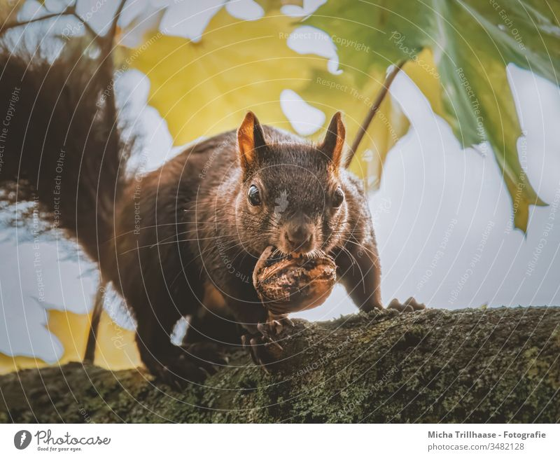 Squirrel with nut in mouth sciurus vulgaris Animal face Head Eyes Muzzle Ear Paw Claw Pelt Nut To feed To hold on Wild animal Beautiful weather Sunlight Nature