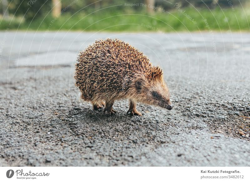baby Hedgehog on a street in northern Germany animal baby animal baby animals blurred background brown closeup cute cute animal cute animals declining species