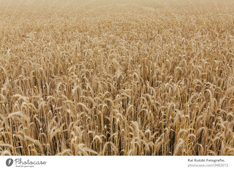 wheat field texture background grain crop agriculture autumn banner bread cereal country countryside cultivated detail europe fall farm farming farmland flour