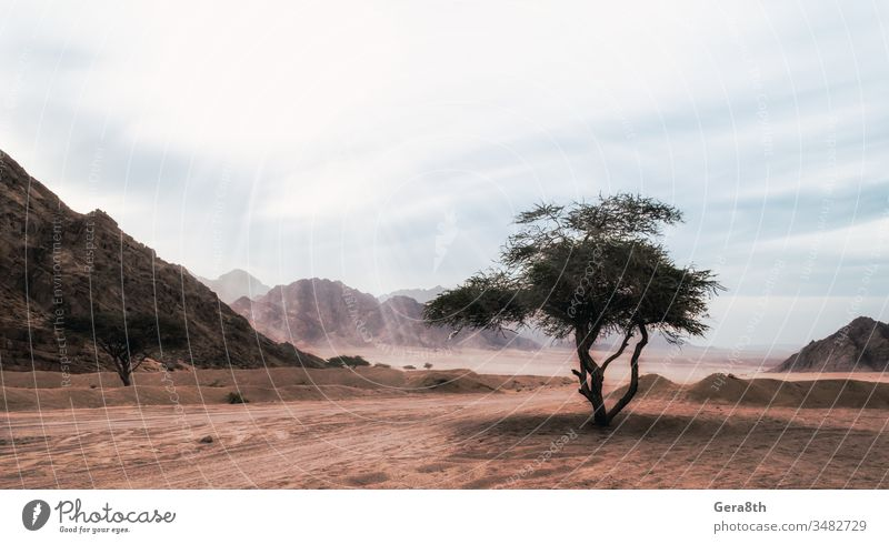 sun rays shine on a tree in the desert without people in Egypt Africa Eden Sharm el Sheikh alone bright clouds colored dark deserted destination evening exotic
