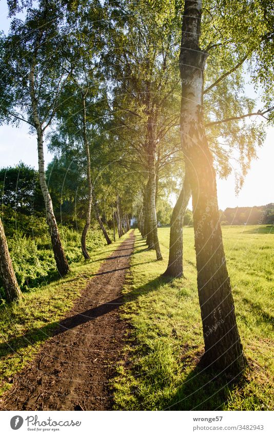 Narrow birch-lined path in the village of Schwaan off Lanes & trails birches Birch avenue Footpath natural Back-light Flare Sunlight Warmth Nature Exterior shot