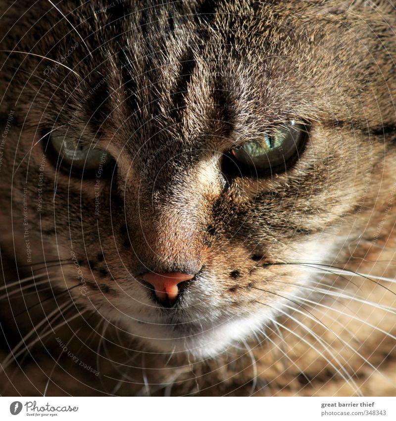 Cat Beautiful Summer Animal Eyes Feminine Brown Sit Nose Cute Friendliness Curiosity Pelt Animal face Watchfulness Pet