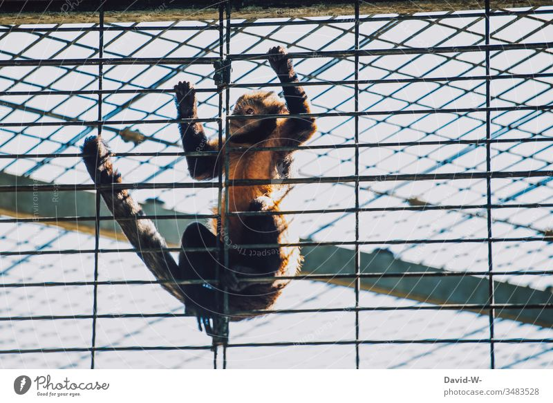Monkey at the zoo locked in a cage desperate monkey Animal penned Cage Zoo Fear sad erupt lattice bars jail Captured output lock corona coronavirus animal park