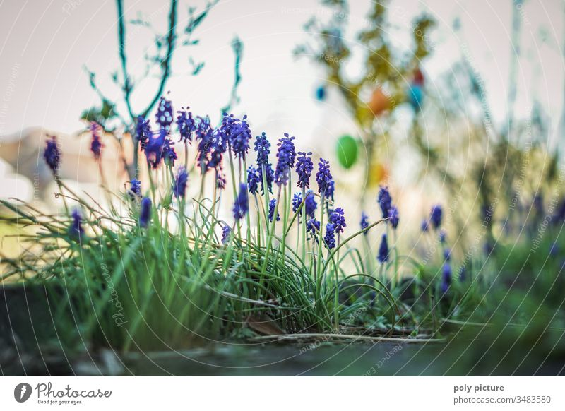 Grape hyacinths in the allotment garden at Easter germinating natural event Plant preservation plants explore Domestic happiness environmental awareness