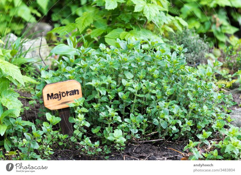 Marjoram in a natural way beet bush caption cultivation eco farming food Fotolia fresh garden green healthy herb herbary homemade label marjoram mediterranean